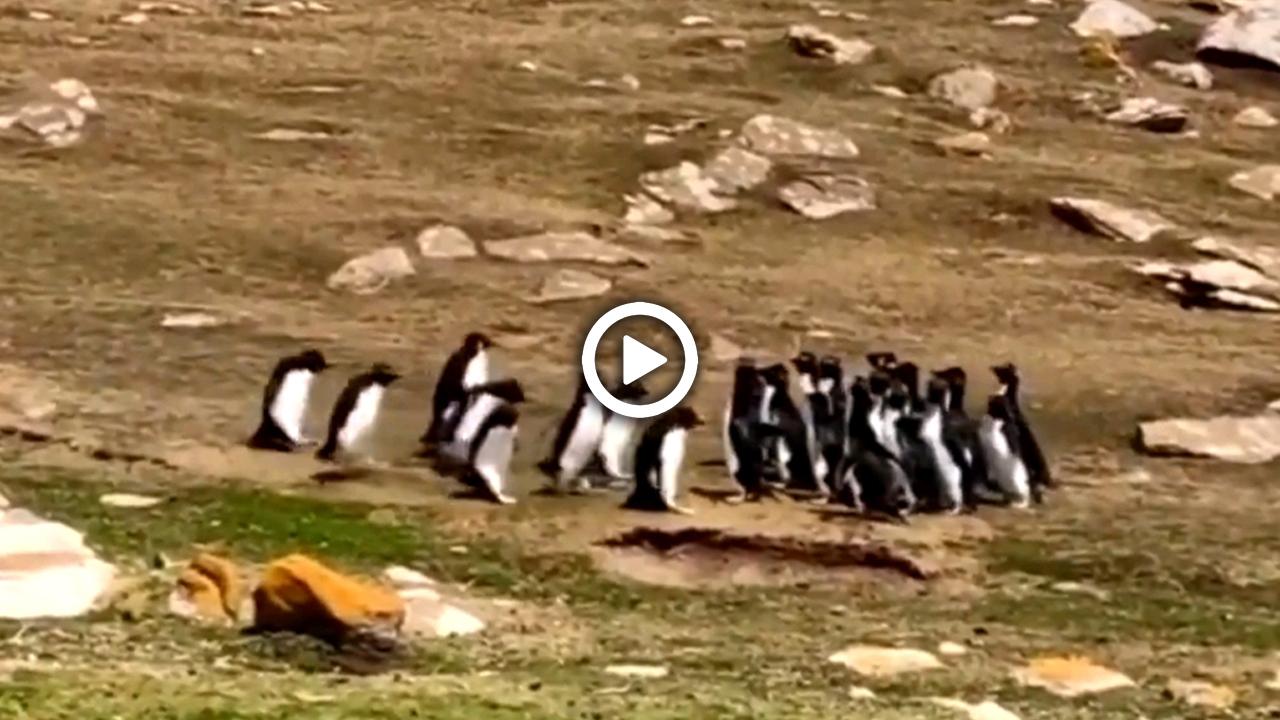 ভিডিও : পেঙ্গুইনদের মিটিং!